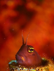 Blenny by Yoav Lavi 